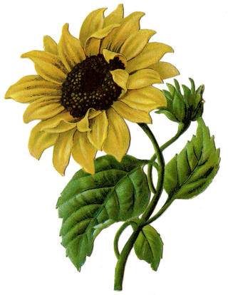 sunflower-vintage-graphicsfairy2b